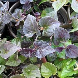 Viola labradorica_Теменужка лабрадорска_Purpurea_Violacea