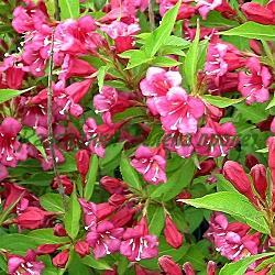 Weigela florida 'Bristol Ruby'_Вайгела_'Bristol Ruby'_Caprifoliaceae
