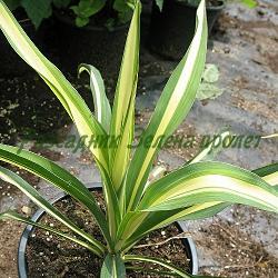 "Yucca filamentosa ""Color Guard"" - сорт Color Guard (Юка вариегатна), Asparagaceae"